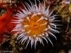 macro-anemonas